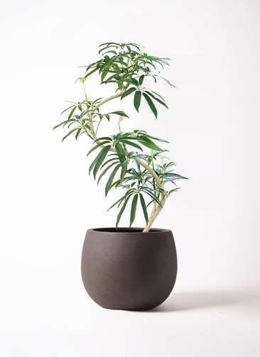 観葉植物 シェフレラ アンガスティフォリア 8号 曲り テラニアス ローバルーン アンティークブラウン 付き