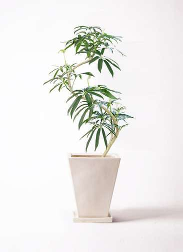 観葉植物 シェフレラ アンガスティフォリア 8号 曲り スクエアハット 白 付き