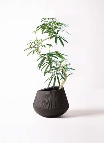 観葉植物 シェフレラ アンガスティフォリア 8号 曲り エディラウンド 黒 付き