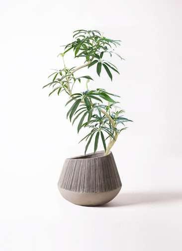 観葉植物 シェフレラ アンガスティフォリア 8号 曲り エディラウンド グレイ 付き