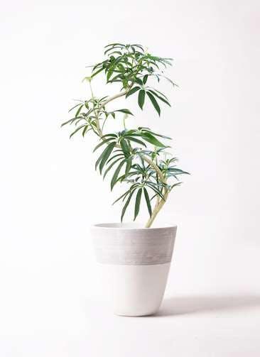 観葉植物 シェフレラ アンガスティフォリア 8号 曲り ジュピター 白 付き