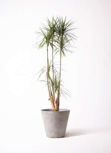 観葉植物 ドラセナ コンシンネ 10号 アートストーン ラウンド グレー