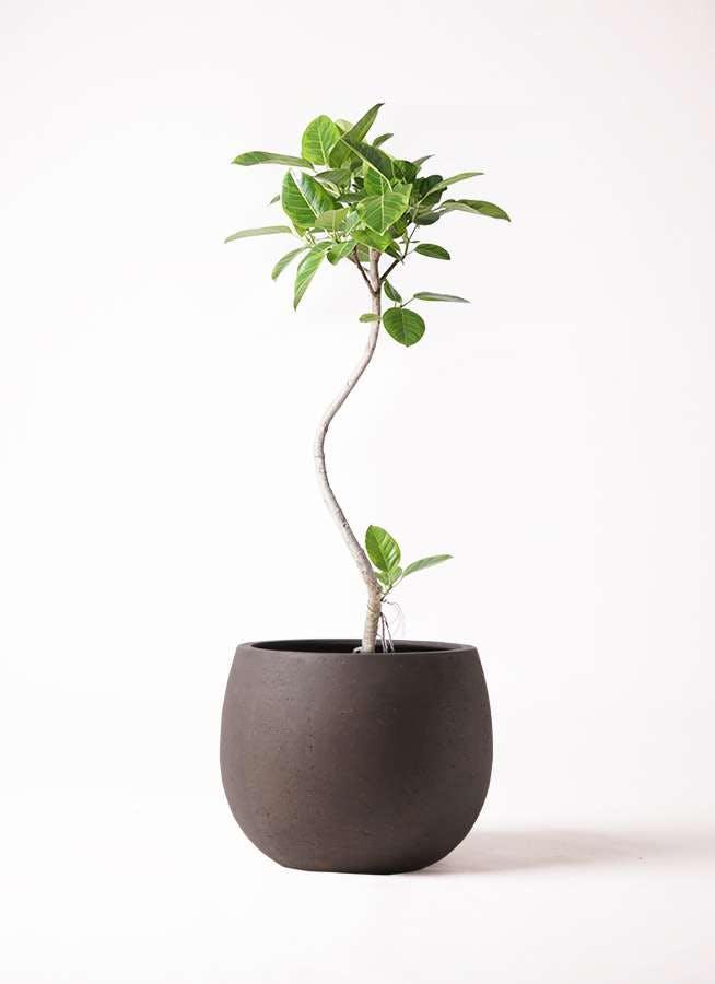 観葉植物 フィカス アルテシーマ 8号 曲り テラニアス ローバルーン アンティークブラウン 付き