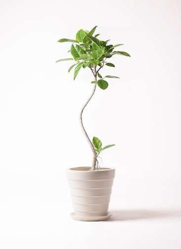観葉植物 フィカス アルテシーマ 8号 曲り サバトリア 白 付き