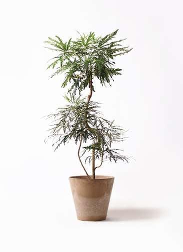 観葉植物 グリーンアラレア 8号 曲り アートストーン ラウンド ベージュ 付き