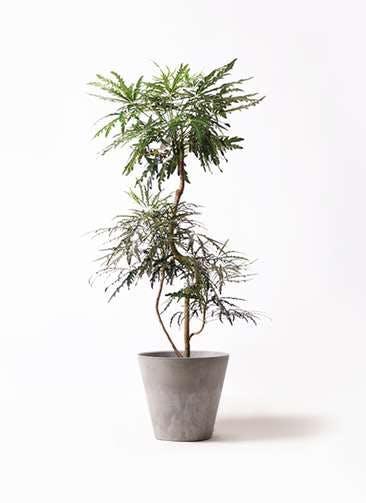観葉植物 グリーンアラレア 8号 曲り アートストーン ラウンド グレー 付き