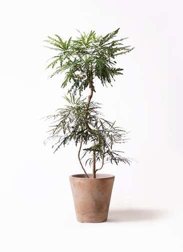 観葉植物 グリーンアラレア 8号 曲り ルーガ アンティコ ソリッド 付き