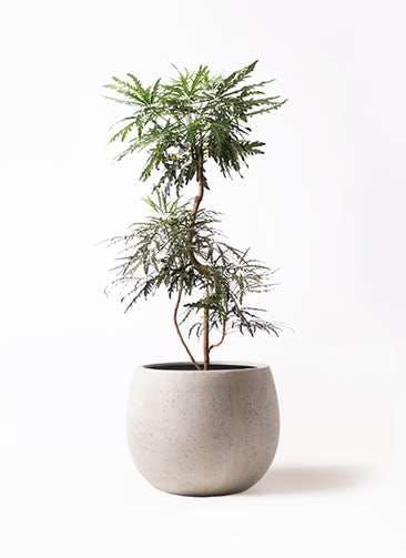 観葉植物 グリーンアラレア 8号 曲り テラニアス ローバルーン アンティークホワイト 付き