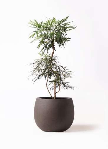 観葉植物 グリーンアラレア 8号 曲り テラニアス ローバルーン アンティークブラウン 付き