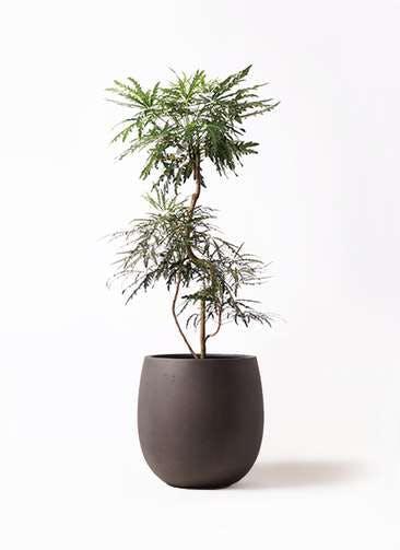 観葉植物 グリーンアラレア 8号 曲り テラニアス バルーン アンティークブラウン 付き