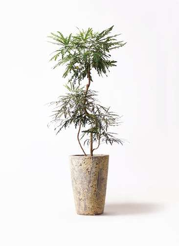 観葉植物 グリーンアラレア 8号 曲り アトランティス クルーシブル 付き