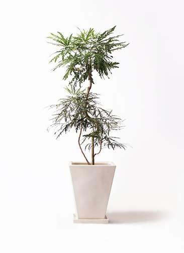 観葉植物 グリーンアラレア 8号 曲り スクエアハット 白 付き