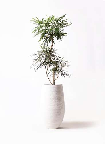 観葉植物 グリーンアラレア 8号 曲り フォンティーヌトール 白 付き