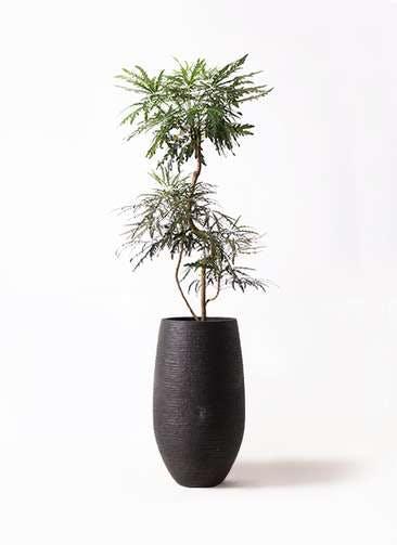 観葉植物 グリーンアラレア 8号 曲り フォンティーヌトール 黒 付き