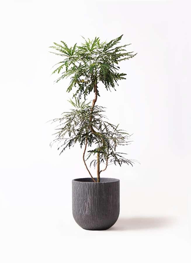 観葉植物 グリーンアラレア 8号 曲り カルディナダークグレイ 付き