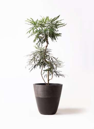 観葉植物 グリーンアラレア 8号 曲り ジュピター 黒 付き