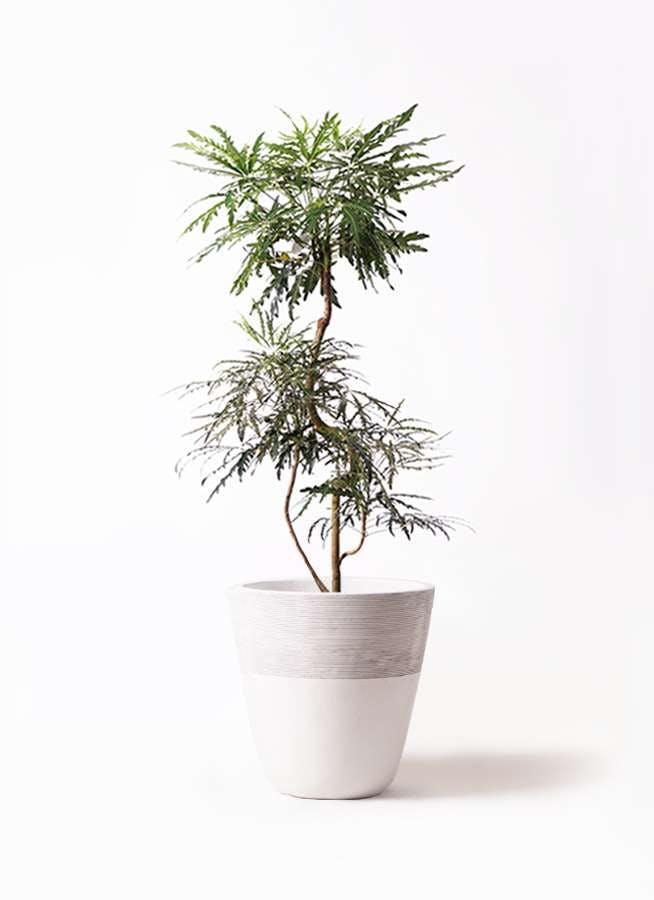 観葉植物 グリーンアラレア 8号 曲り ジュピター 白 付き