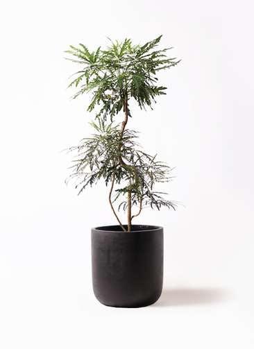 観葉植物 グリーンアラレア 8号 曲り エルバ 黒 付き