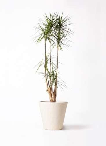 観葉植物 ドラセナ コンシンネ 10号 フォリオソリッド クリーム