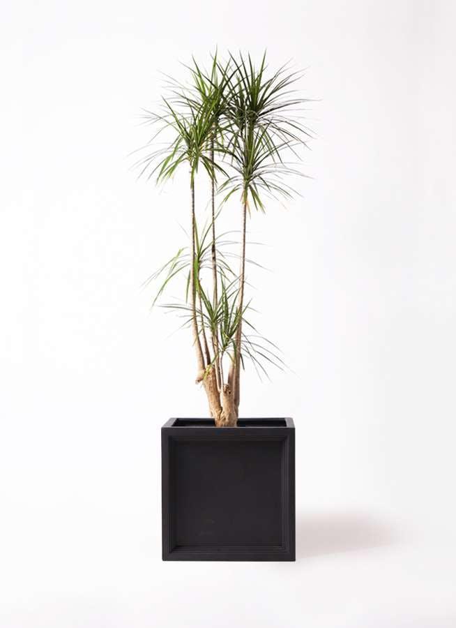 観葉植物 ドラセナ コンシンネ 10号 ブリティッシュキューブ