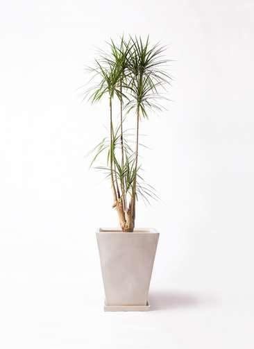 観葉植物 ドラセナ コンシンネ 10号 スクエアハット 白