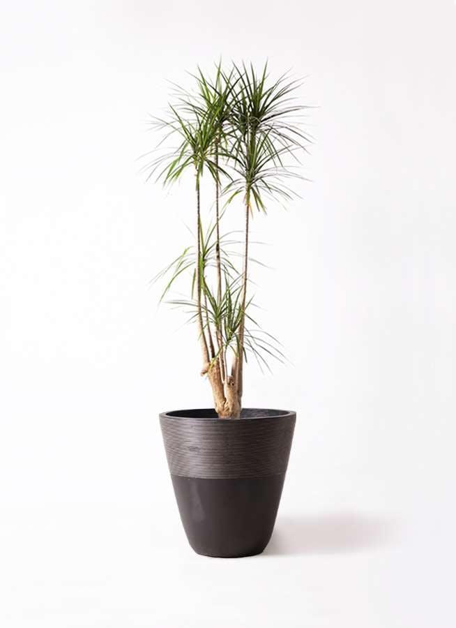 観葉植物 ドラセナ コンシンネ 10号 ジュピター 黒
