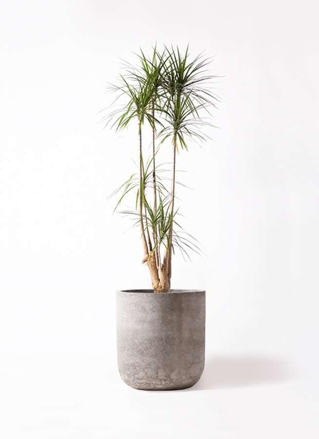 観葉植物 ドラセナ コンシンネ 10号 エルバ 白