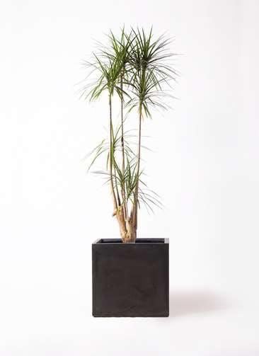 観葉植物 ドラセナ コンシンネ 10号 ファイバークレイ キューブ 付き