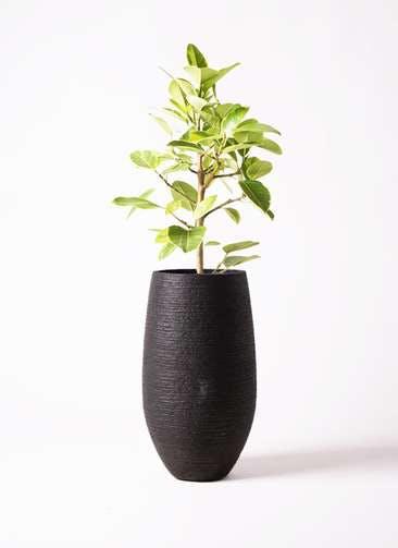 観葉植物 フィカス アルテシーマ 7号 ストレート フォンティーヌトール 黒 付き