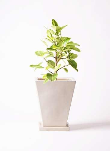 観葉植物 フィカス アルテシーマ 7号 ストレート スクエアハット 白 付き