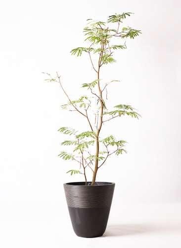 観葉植物 エバーフレッシュ 10号 ボサ造り ジュピター 黒