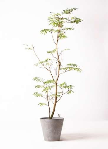 観葉植物 エバーフレッシュ 10号 ボサ造り アートストーン ラウンド グレー
