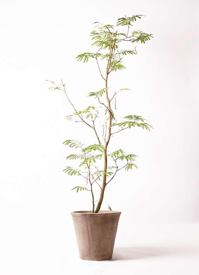 観葉植物 エバーフレッシュ 10号 ボサ造り ルーガ アンティコ ソリッド