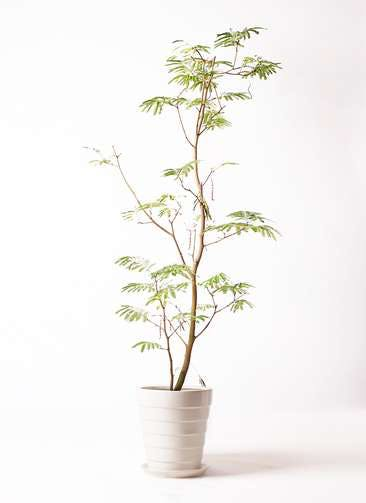 観葉植物 エバーフレッシュ 10号 ボサ造り サバトリア 白