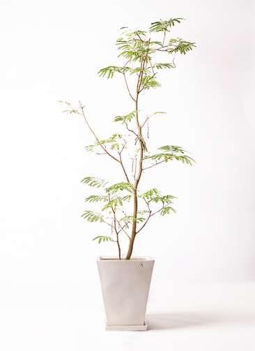 観葉植物 エバーフレッシュ 10号 ボサ造り スクエアハット 白