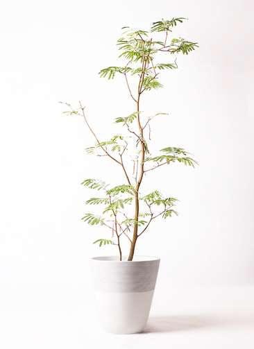 観葉植物 エバーフレッシュ 10号 ボサ造り ジュピター 白