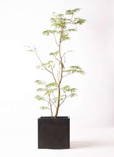 観葉植物 エバーフレッシュ 10号 ボサ造り ファイバークレイ キューブ 付き