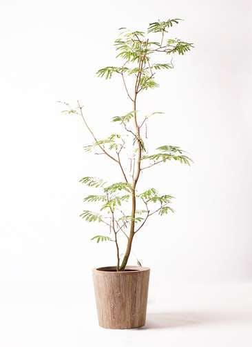 観葉植物 エバーフレッシュ 10号 ボサ造り ウッドプランター