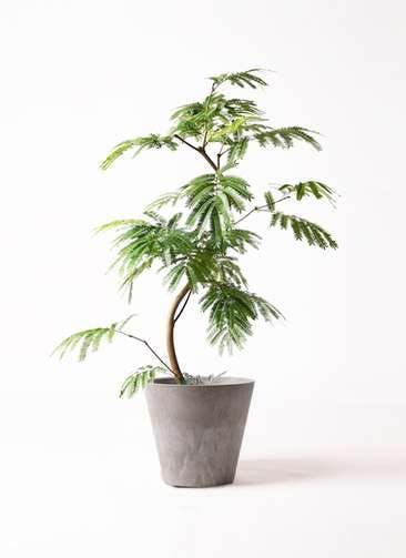 観葉植物 エバーフレッシュ 8号 曲り アートストーン ラウンド グレー 付き