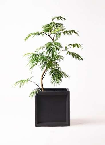 観葉植物 エバーフレッシュ 8号 曲り ブリティッシュキューブ 付き