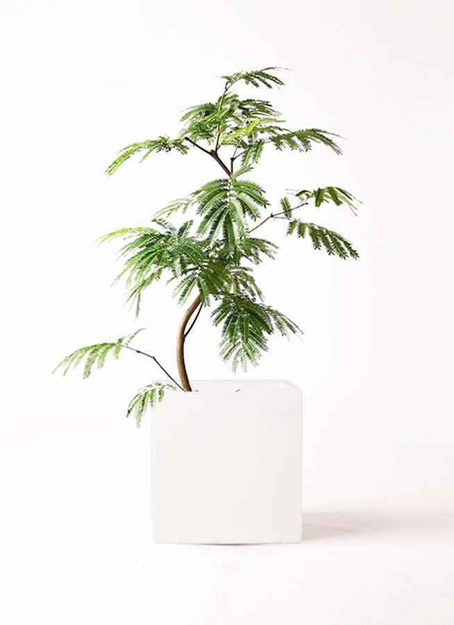 観葉植物 エバーフレッシュ 8号 曲り バスク キューブ 付き