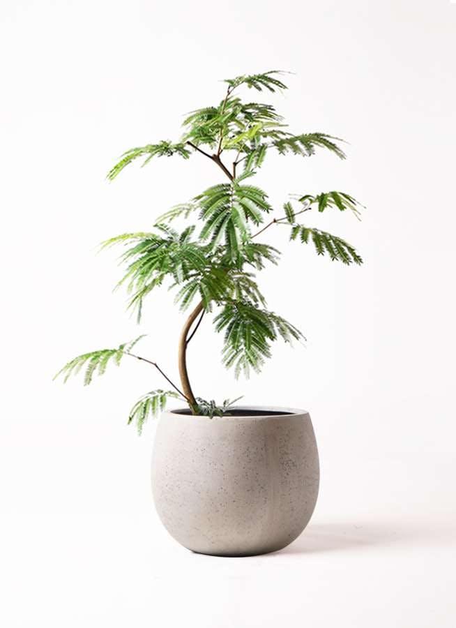 観葉植物 エバーフレッシュ 8号 曲り テラニアス ローバルーン アンティークホワイト 付き