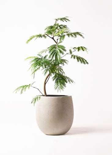 観葉植物 エバーフレッシュ 8号 曲り テラニアス バルーン アンティークホワイト 付き