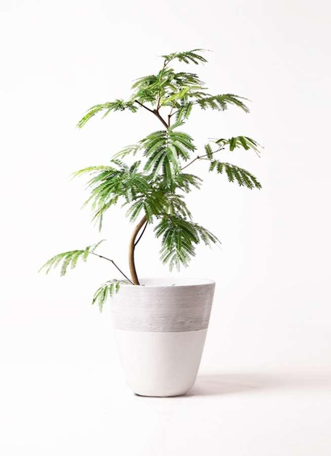 観葉植物 エバーフレッシュ 8号 曲り ジュピター 白 付き