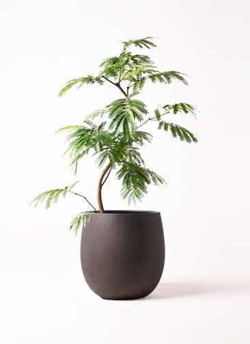 観葉植物 エバーフレッシュ 8号 曲り テラニアス バルーン アンティークブラウン 付き