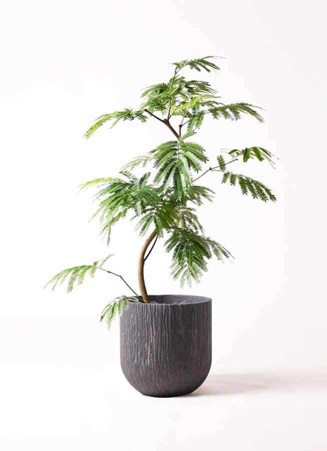 観葉植物 エバーフレッシュ 8号 曲り カルディナダークグレイ 付き