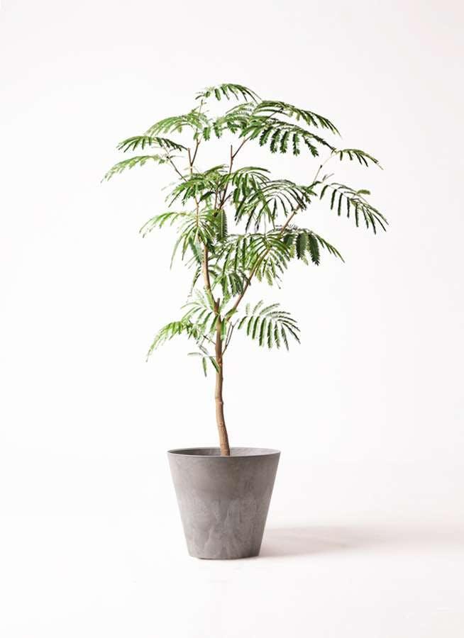 観葉植物 エバーフレッシュ 8号 ボサ造り アートストーン ラウンド グレー 付き