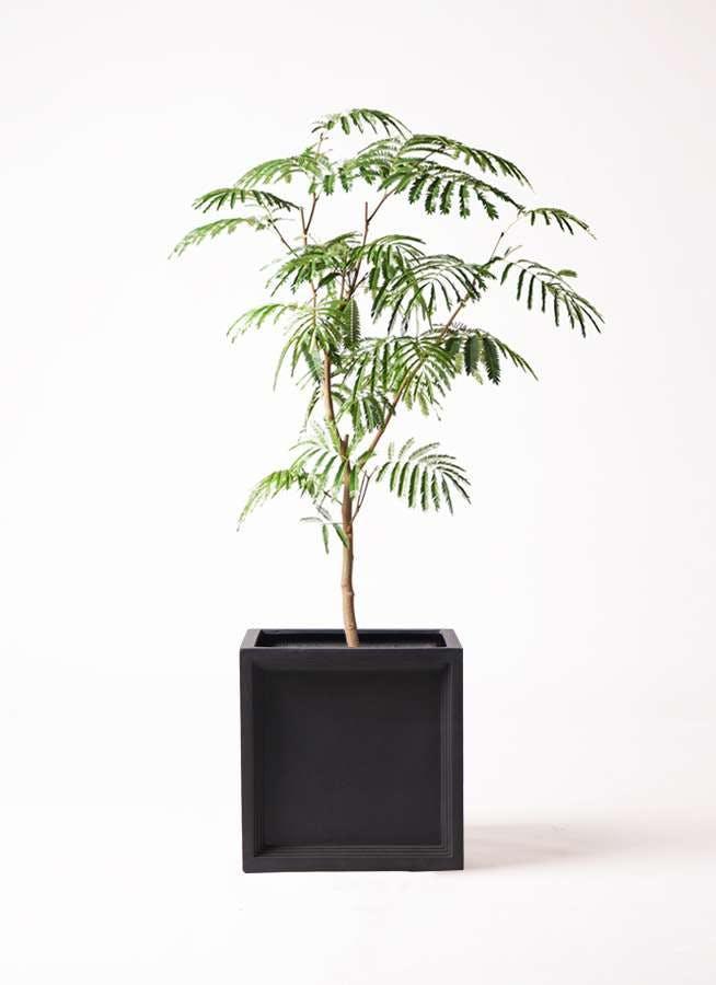 観葉植物 エバーフレッシュ 8号 ボサ造り ブリティッシュキューブ 付き