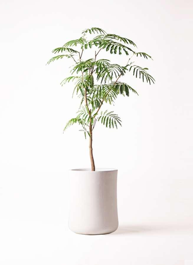 観葉植物 エバーフレッシュ 8号 ボサ造り バスク ミドル ホワイト 付き