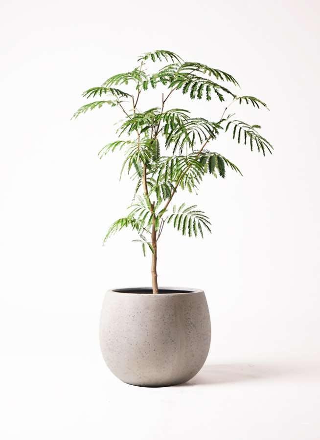 観葉植物 エバーフレッシュ 8号 ボサ造り テラニアス ローバルーン アンティークホワイト 付き